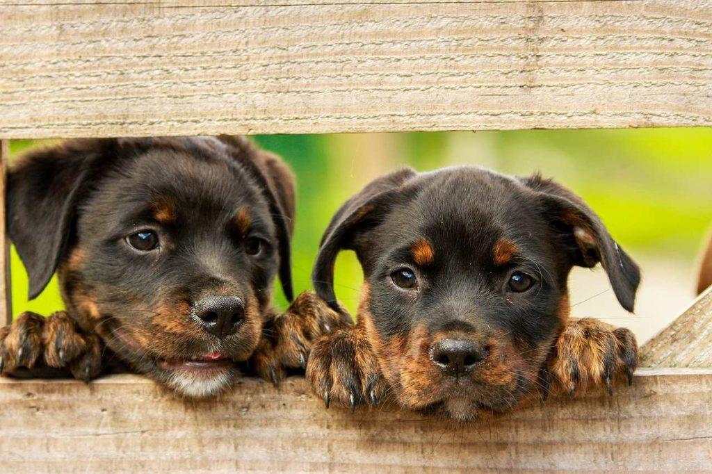 2 rotweiller puppies